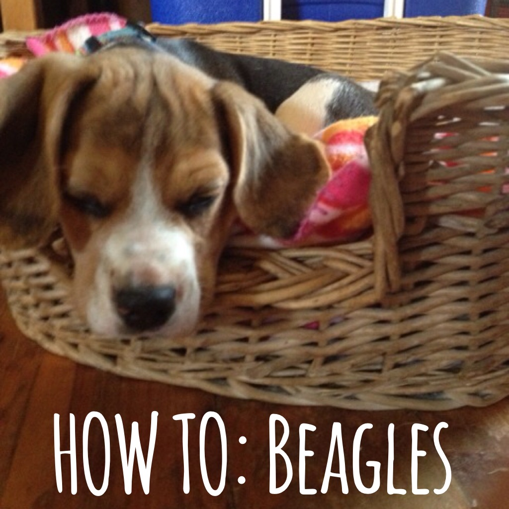 how to beagles